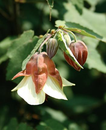 Abutilon megapotamicum 'Ines' (aka Flowering Maple)