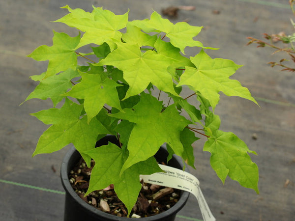 Acer longipes 'Gold Coin'