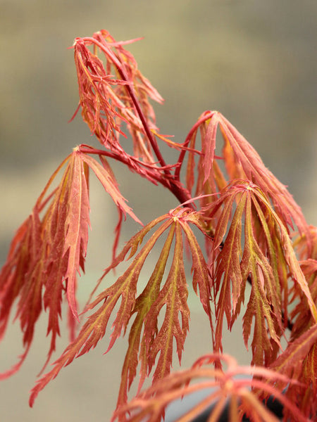 Acer palmatum 'Chantilly Lace'
