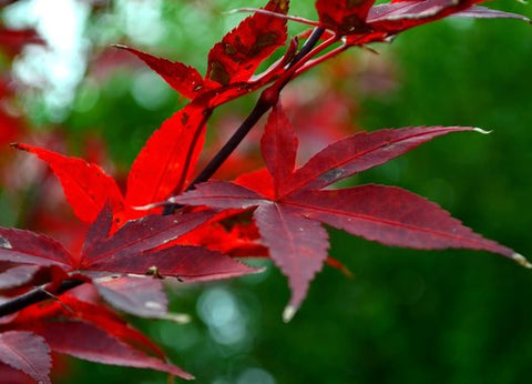 Acer palmatum 'Red Sentinel' (aka 'Twombly's Red Sentinel,' Japanese Maple)