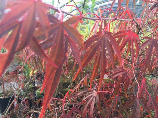 Acer palmatum 'Red Spire' (aka Japanese Maple)