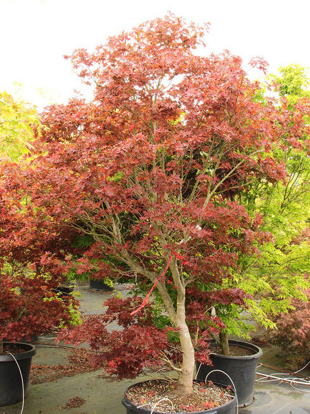 Acer palmatum 'Ruby Stars' (aka Japanese Maple)