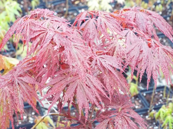 Acer Palmatum Dissectum Crimson Queen Aka Laceleaf Japanese Maple