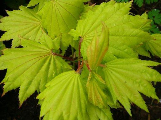Acer japonicum 'Fairy Lights' (aka Japanese Maple)