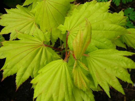 Acer shirasawanum 'Aureum' (aka Golden Full Moon Maple)