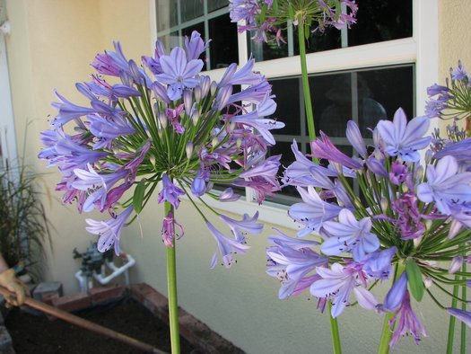 Agapanthus 'Peter Pan'(aka Lily of the Nile)