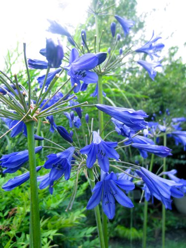Agapanthus 'Storm Cloud'(aka Lily of the Nile)