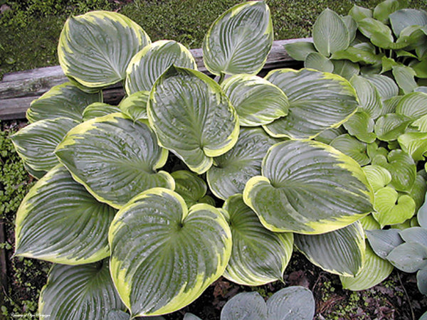 Hosta 'All That Jazz'
