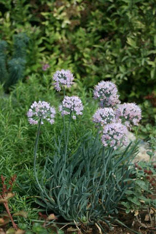 Allium senescens 'Blue Twister' (aka Flowering Onion)