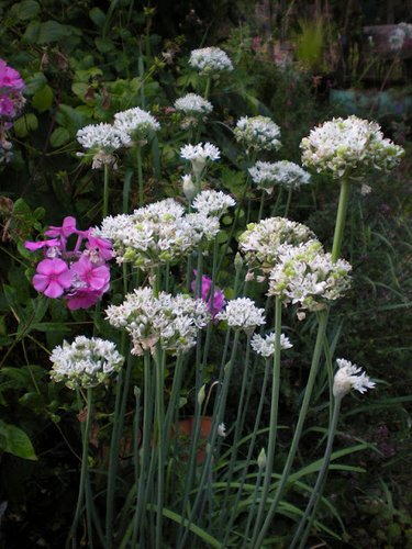 Allium tuberosum (aka Garlic Chives)