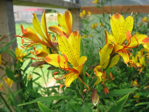 Alstroemeria 'Glory of the Andes' (aka Peruvian Lily)