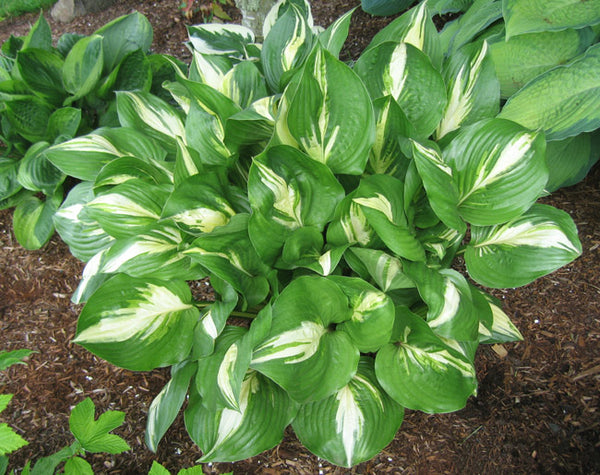 Hosta 'American Sweetheart'