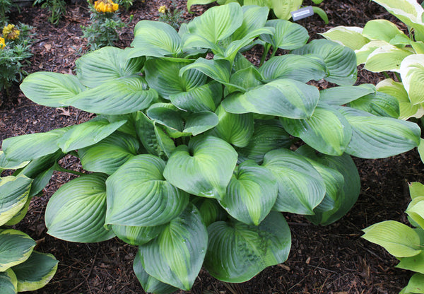 Hosta 'Avocado'