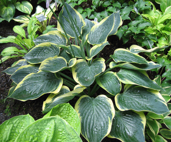 Hosta 'Battle Star'