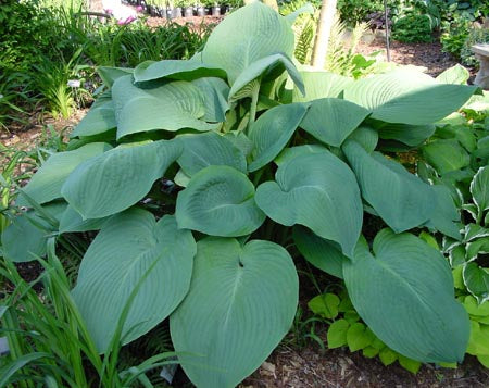 Hosta 'Birchwood Elegance'