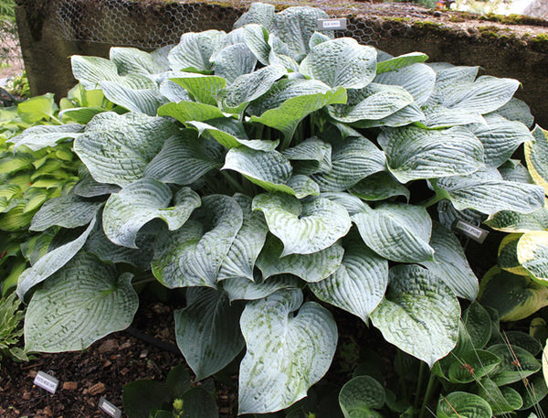 Hosta 'Blue Hawaii'