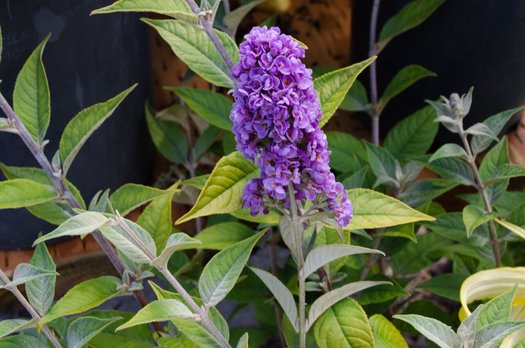 Buddleia davidii 'Blue Chip Jr.'