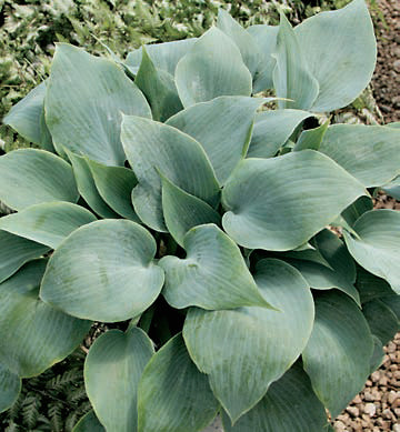 Hosta 'Bulletproof'