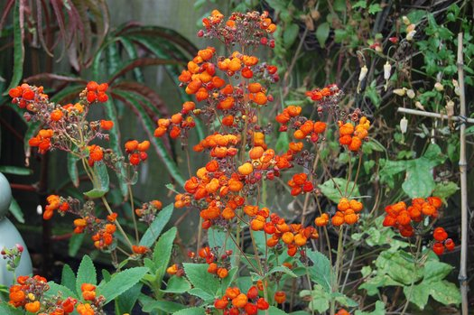 Calceolaria integrifolia 'Kentish Hero'