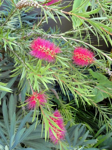 Callistemon 'Woodlander's Hardy Red'