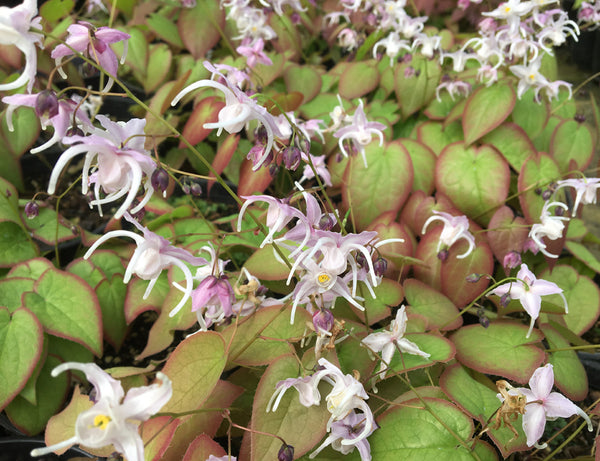 Epimedium sempervirens 'Candy Hearts'