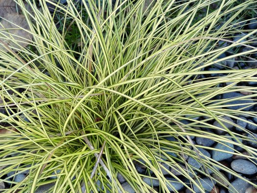 Carex brunnea 'Jenneke'