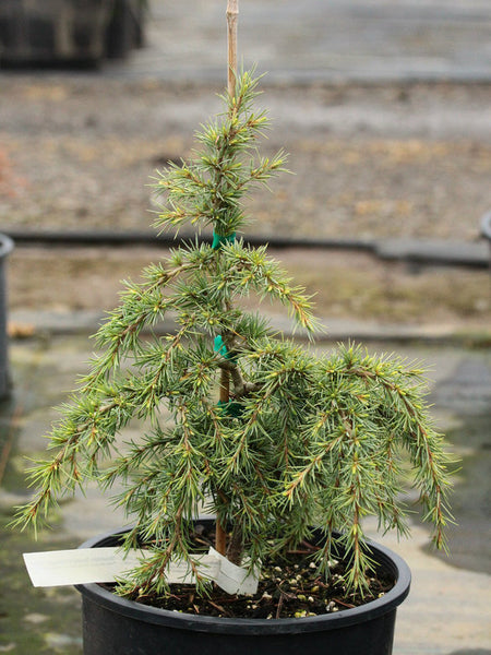 Cedrus deodara 'Mountain Beauty'