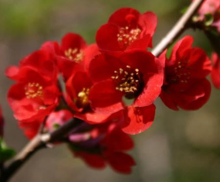 Chaenomeles 'Hollandia'