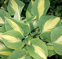 Hosta 'Chain Lightning'