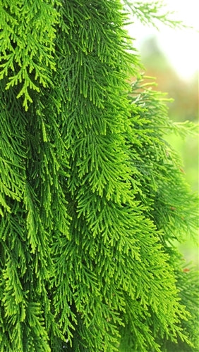 Chamaecyparis lawsoniana 'Filip's Golden Tears'
