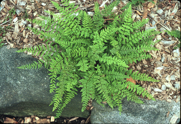 Cheilanthes lanosa (aka Hairy Lip Fern)