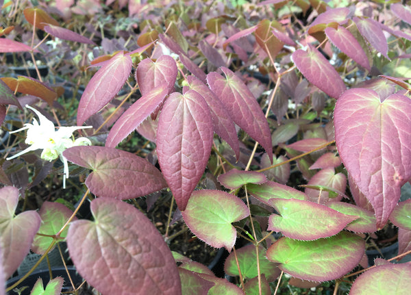 Epimedium grandiflorum f. flavescens 'Chocolate Lace'