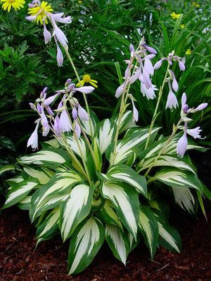 Hosta 'Christmas Candy'