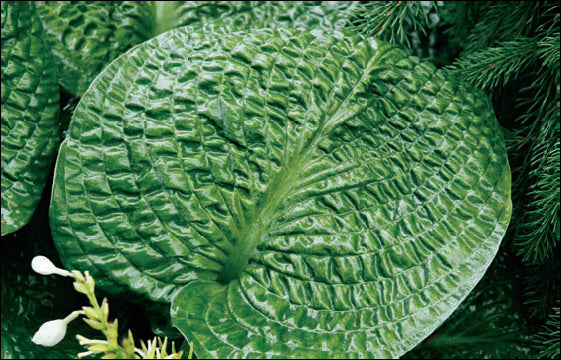 Hosta 'Clear Fork River Valley'