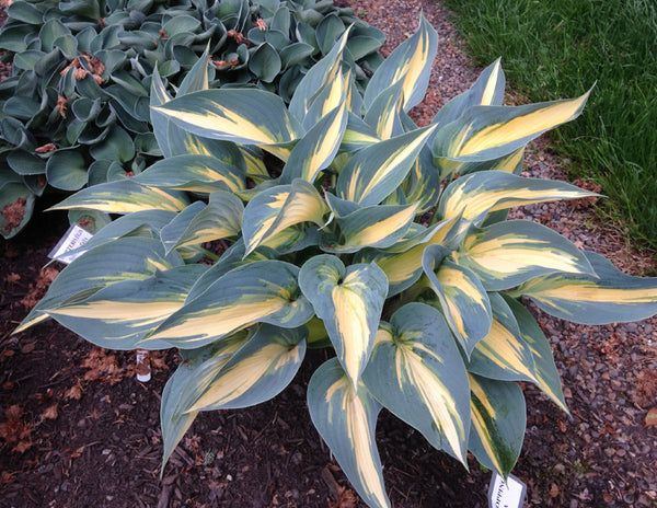 Hosta 'Crown Prince'