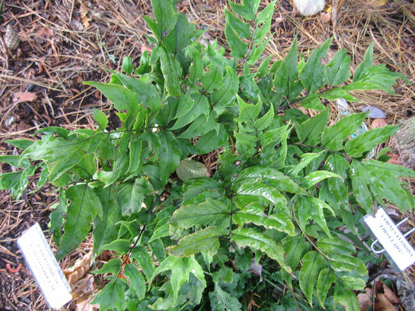 Cyrtomium caryotideum (aka Fishtail Holly Fern)