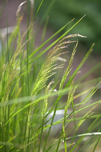 Deschampsia caespitosa 'Northern Lights'