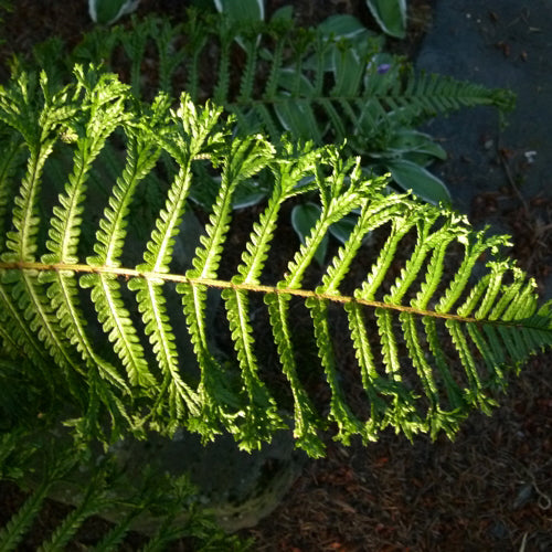 Dryopteris filix-mas 'Martindale Crested'