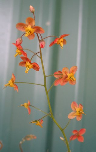 Epimedium warleyense 'Orange King'