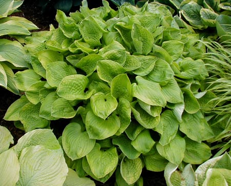 Hosta 'Erie Magic'