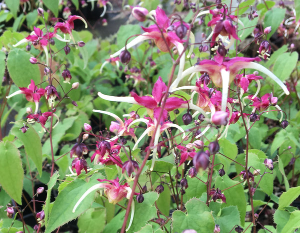 Epimedium x 'Flame Thrower'