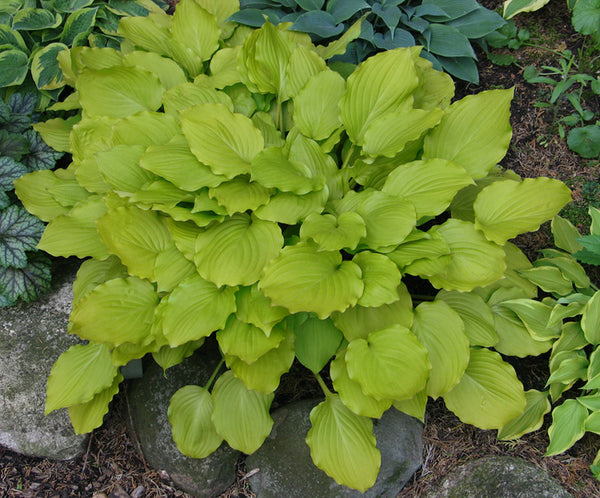 Hosta 'Fruit Punch'