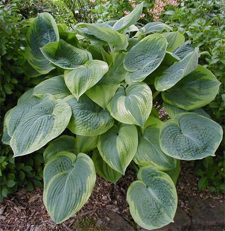 Hosta 'Garden Treasure'