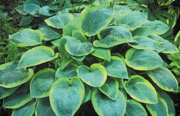 Hosta 'Glory Hallelujah'