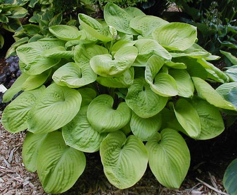 Hosta 'Golden Friendship'
