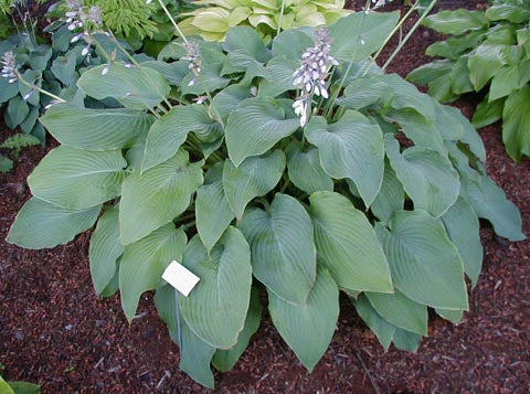 Hosta 'Green Acres'
