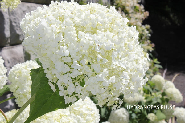 Hydrangea Arborescens Incrediball