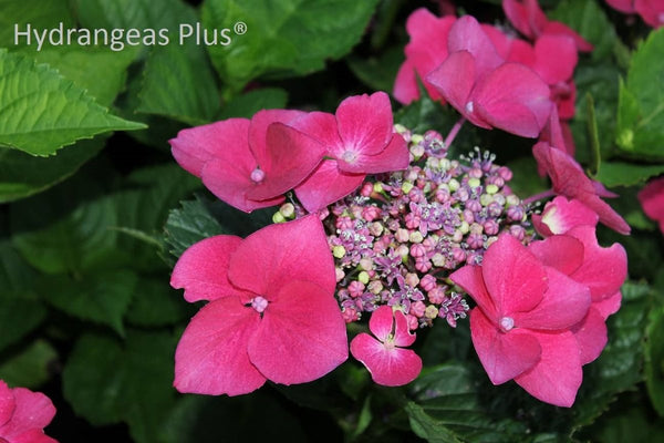 Hydrangea macrophylla 'Princess Beatrix'