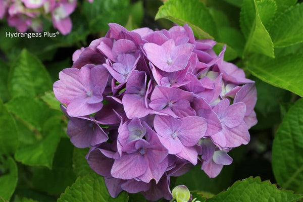 Hydrangea macrophylla 'Forever Pink'