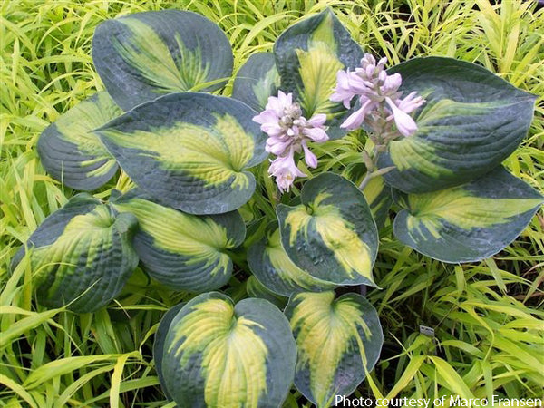 Hosta 'Heat Wave'
